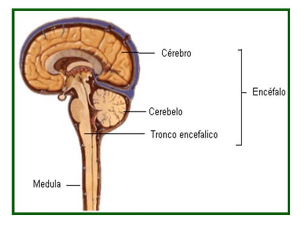 Aspectos Clínicos Síndrome hipocinética (parkinsonismo) substância negra pars compacta apresenta se comprometida gera redução da atividade do neostriado sobre as vias de saída direta e indireta intensifica a atividade inibitória do complexo pálido media substância negra pars reticulata sobre o tálamo Reduz o estimulo cortical.