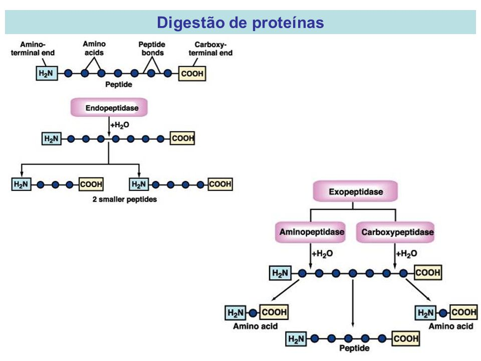 Digestão de proteínas