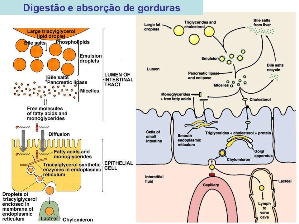 Digestão e absorção de gorduras