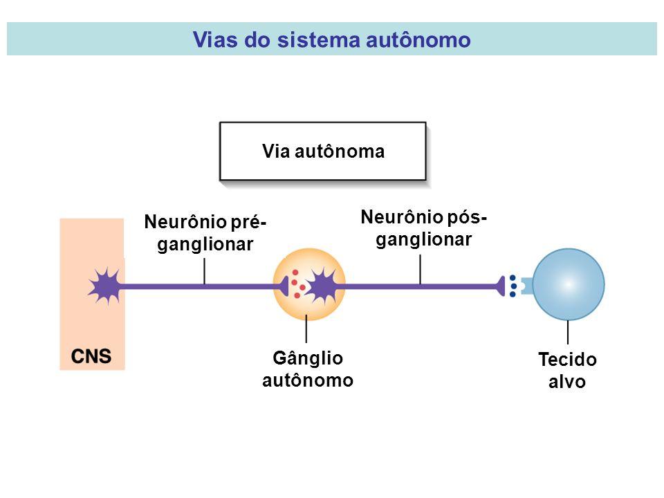Via autônoma Neurônio pré- ganglionar Neurônio pós- ganglionar Gânglio autônomo Tecido alvo Vias do sistema autônomo