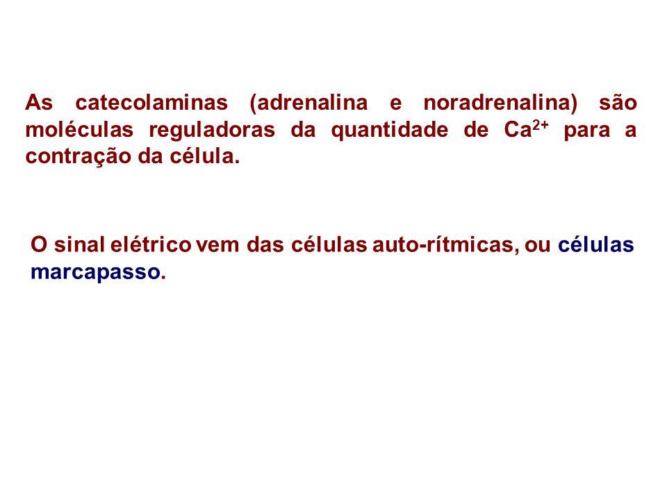As catecolaminas (adrenalina e noradrenalina) são moléculas reguladoras da quantidade de Ca 2+ para a contração da célula. O sinal elétrico vem das cé