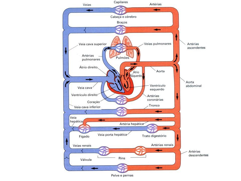 Recebe sangueO sangue vai para Coração Átrio direitoda veia cavaO ventrículo direito Ventriculo direitodo átrio direitoOs pulmões Átrio esquerdodas veias pulmonaresO ventrículo esquerdo Ventrículo esquerdodo átrio esquerdoO corpo Vasos Veia CavaDas veias sistêmicasO átrio direito Tronco pulmonar (artéria) Do ventrículo direitoOs pulmoes Veia pulmonar Das veias dos pulmoes O átrio esquerdo Aorta Do ventrículo esquerdo As artérias sistêmicas Circuito sanguíneo