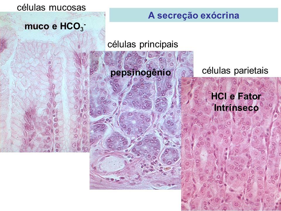 células mucosas células principais células parietais muco e HCO 3 - pepsinogênio HCl e Fator Intrínseco A secreção exócrina