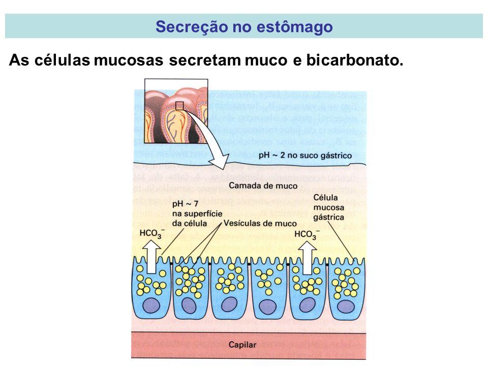 Secreção no estômago As células mucosas secretam muco e bicarbonato.