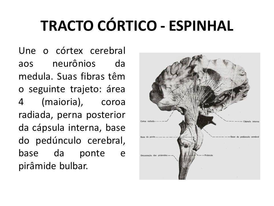 TRACTO CÓRTICO - ESPINHAL Une o córtex cerebral aos neurônios da medula. Suas fibras têm o seguinte trajeto: área 4 (maioria), coroa radiada, perna po