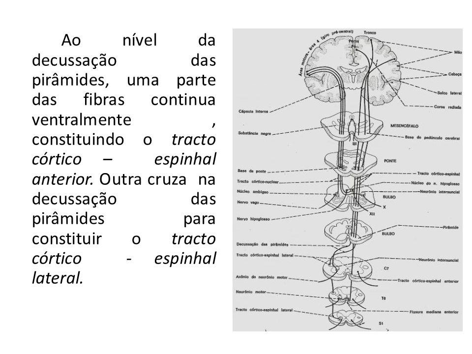 Ao nível da decussação das pirâmides, uma parte das fibras continua ventralmente, constituindo o tracto córtico – espinhal anterior. Outra cruza na de