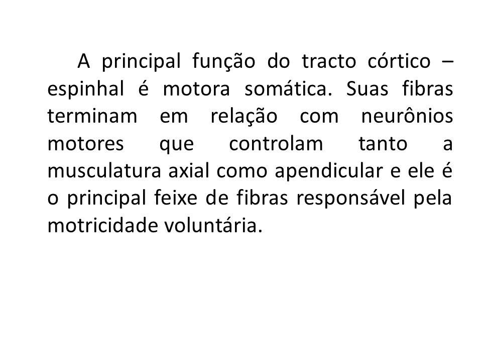 A principal função do tracto córtico – espinhal é motora somática. Suas fibras terminam em relação com neurônios motores que controlam tanto a muscula