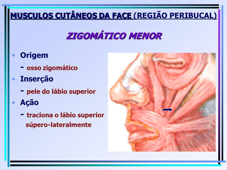 MUSCULOS CUTÂNEOS DA FACE ZIGOMÁTICO MENOR MUSCULOS CUTÂNEOS DA FACE (REGIÃO PERIBUCAL) ZIGOMÁTICO MENOR Origem - osso zigomático Inserção - pele do l