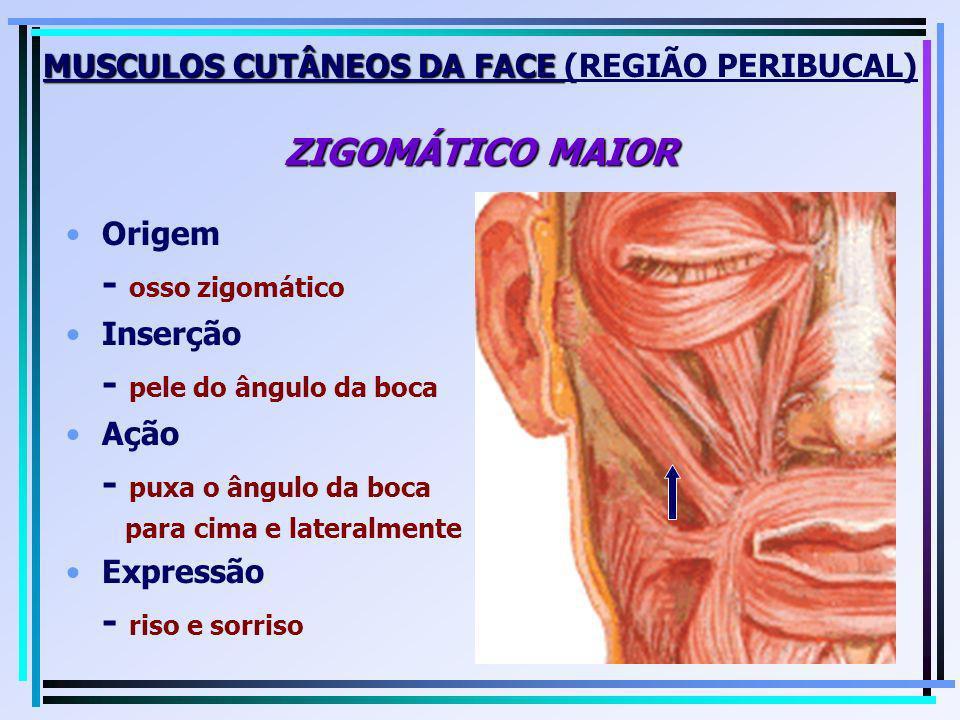 MUSCULOS CUTÂNEOS DA FACE ZIGOMÁTICO MAIOR MUSCULOS CUTÂNEOS DA FACE (REGIÃO PERIBUCAL) ZIGOMÁTICO MAIOR Origem - osso zigomático Inserção - pele do â