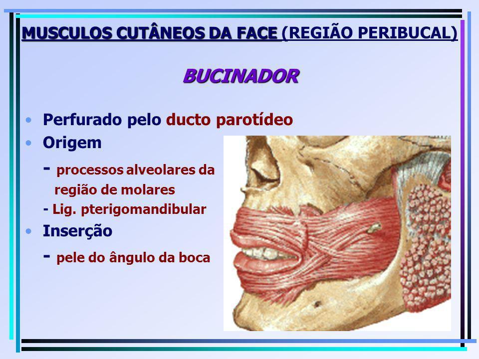 MUSCULOS CUTÂNEOS DA FACE BUCINADOR MUSCULOS CUTÂNEOS DA FACE (REGIÃO PERIBUCAL) BUCINADOR Perfurado pelo ducto parotídeo Origem - processos alveolare