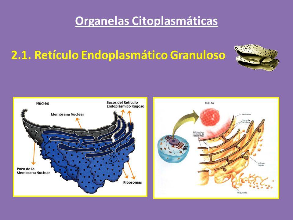Organelas Citoplasmáticas 2.1. Retículo Endoplasmático Granuloso