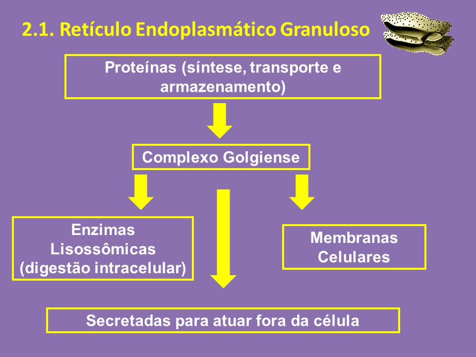 Proteínas (síntese, transporte e armazenamento) Complexo Golgiense Enzimas Lisossômicas (digestão intracelular) Secretadas para atuar fora da célula M