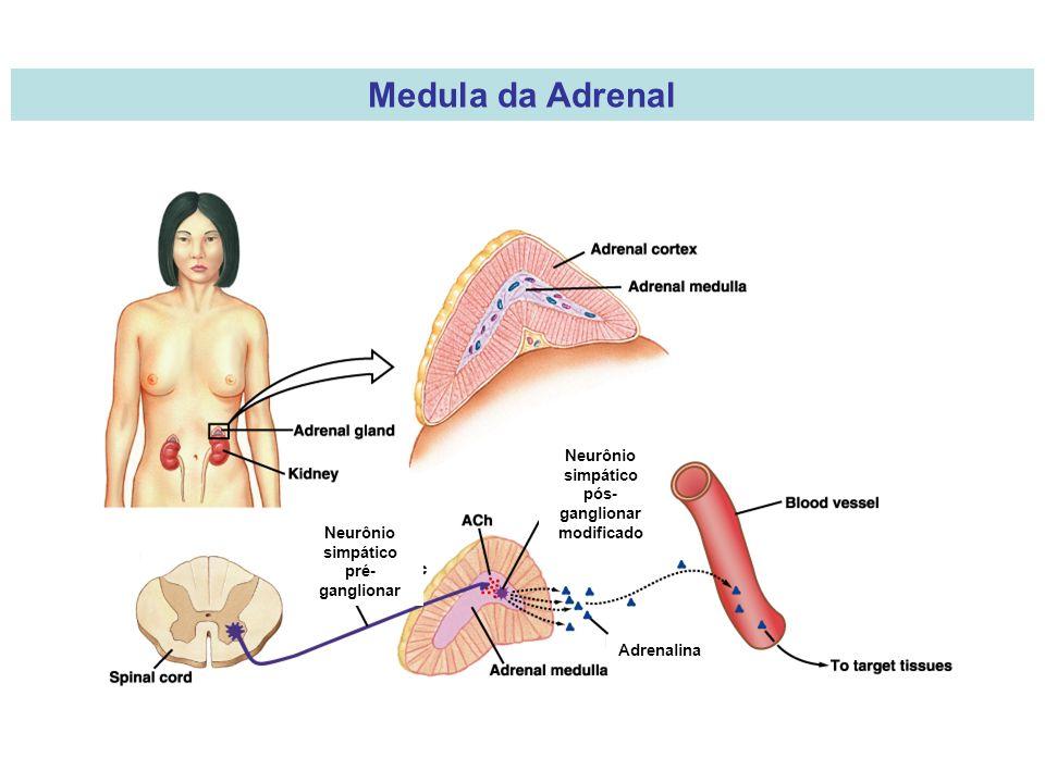 Medula da Adrenal Neurônio simpático pós- ganglionar modificado Adrenalina Neurônio simpático pré- ganglionar