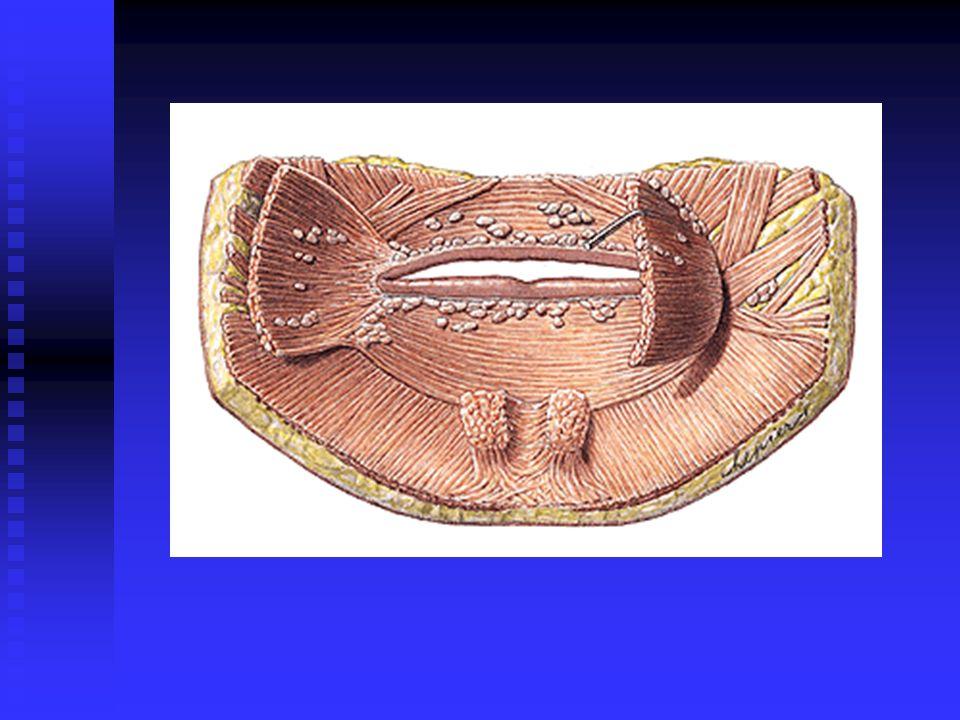 Anatomia do Sistema Digestório Dentes (32 no adulto e 20 na primeira dentição): Dentes (32 no adulto e 20 na primeira dentição): Porções: Raiz, colo e coroa Porções: Raiz, colo e coroa Características morfológicas Características morfológicas Incisivos Incisivos Caninos Caninos Pré-molares e molares Pré-molares e molares Função: Função: