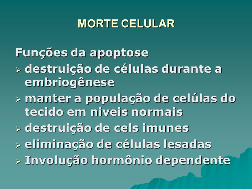 MORTE CELULAR Funções da apoptose destruição de células durante a embriogênese destruição de células durante a embriogênese manter a população de celú