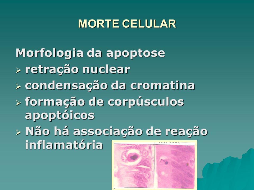 MORTE CELULAR Morfologia da apoptose retração nuclear retração nuclear condensação da cromatina condensação da cromatina formação de corpúsculos apopt