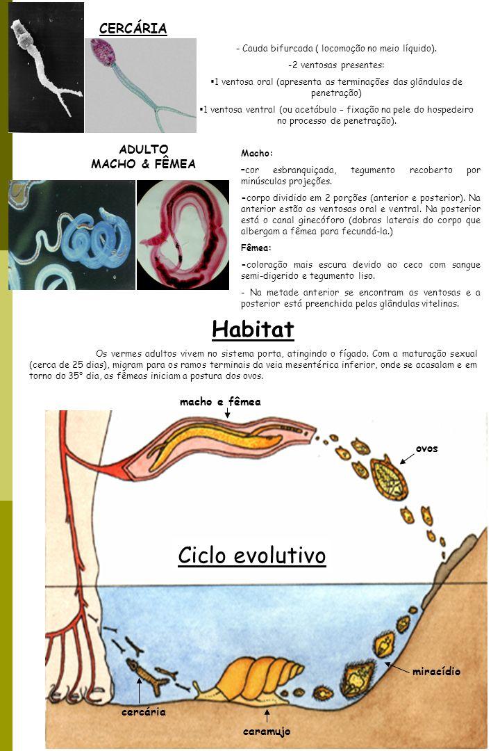 3 TRANSMISSÃO Penetração ativa das cercárias na pele e mucosa.