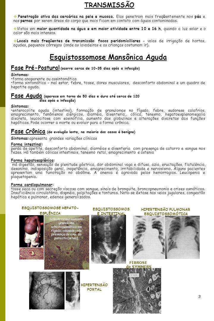 3 TRANSMISSÃO Penetração ativa das cercárias na pele e mucosa. Elas penetram mais freqϋentemente nos pés e nas pernas por serem áreas do corpo que mai