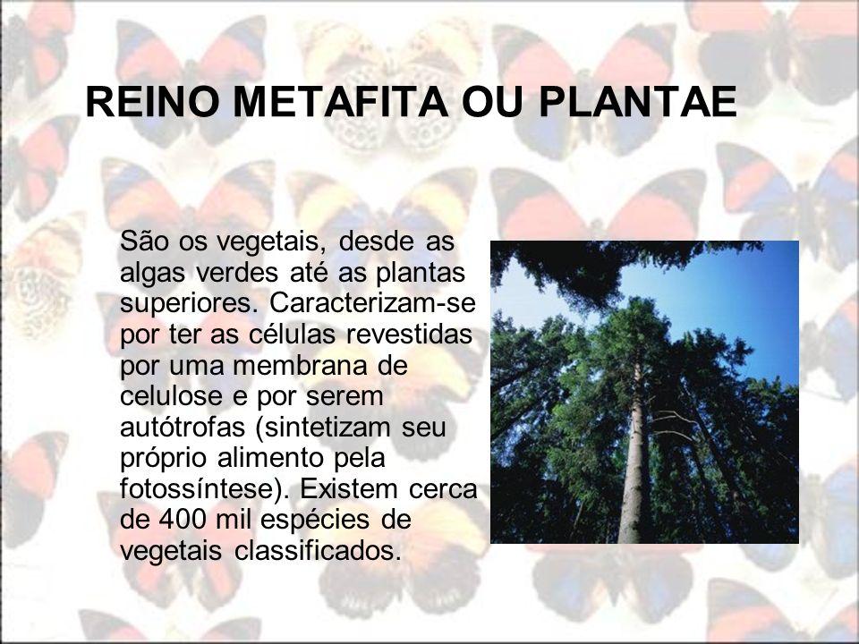 REINO METAFITA OU PLANTAE São os vegetais, desde as algas verdes até as plantas superiores. Caracterizam-se por ter as células revestidas por uma memb