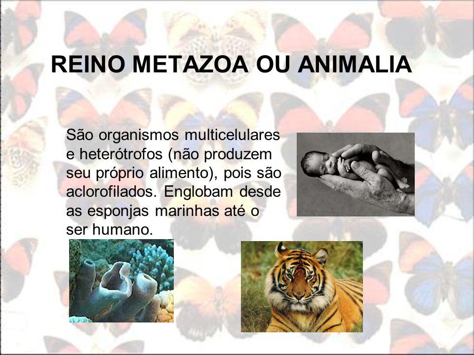REINO METAZOA OU ANIMALIA São organismos multicelulares e heterótrofos (não produzem seu próprio alimento), pois são aclorofilados. Englobam desde as