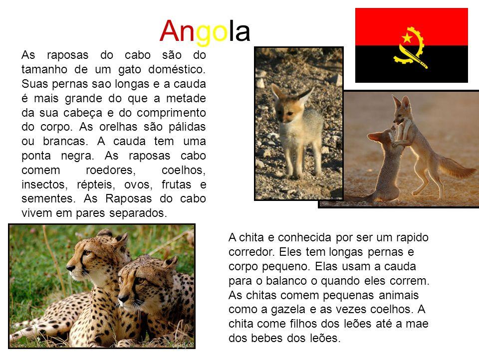 Angola As raposas do cabo são do tamanho de um gato doméstico. Suas pernas sao longas e a cauda é mais grande do que a metade da sua cabeça e do compr