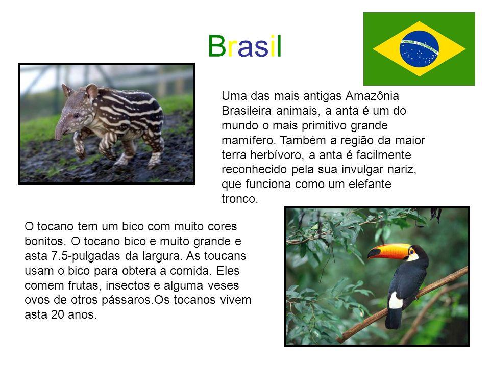 Brasil Uma das mais antigas Amazônia Brasileira animais, a anta é um do mundo o mais primitivo grande mamífero. Também a região da maior terra herbívo