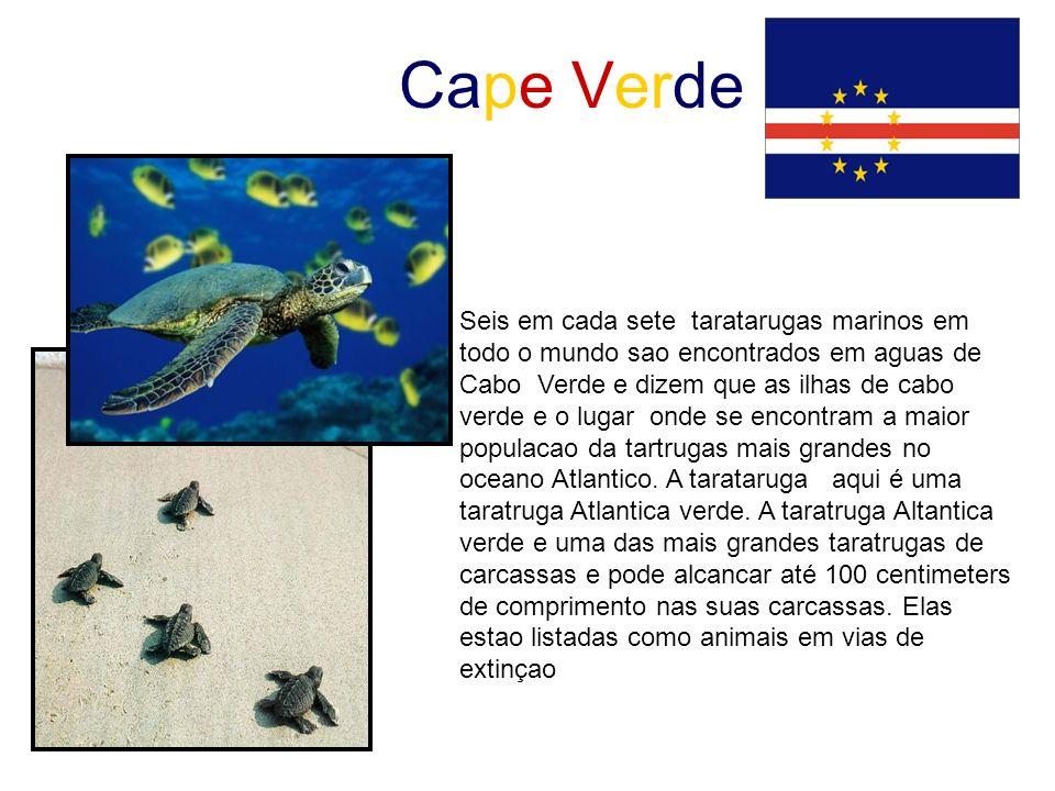 Cape Verde Seis em cada sete taratarugas marinos em todo o mundo sao encontrados em aguas de Cabo Verde e dizem que as ilhas de cabo verde e o lugar o