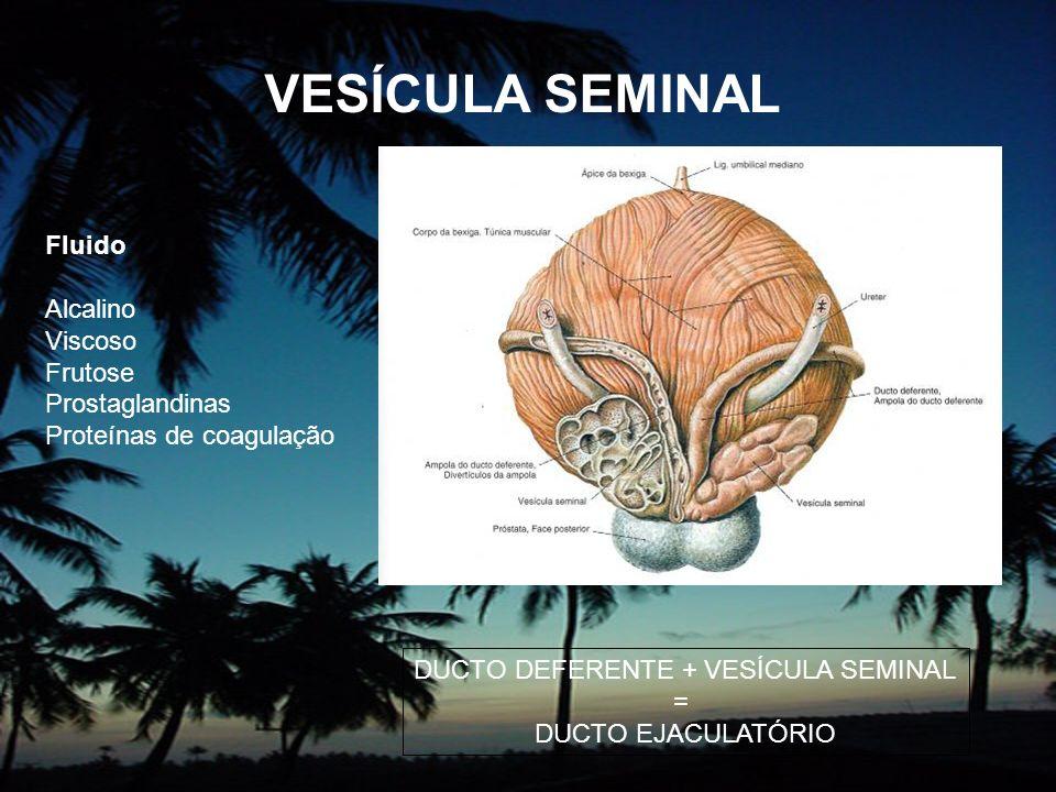 VESÍCULA SEMINAL Fluido Alcalino Viscoso Frutose Prostaglandinas Proteínas de coagulação DUCTO DEFERENTE + VESÍCULA SEMINAL = DUCTO EJACULATÓRIO