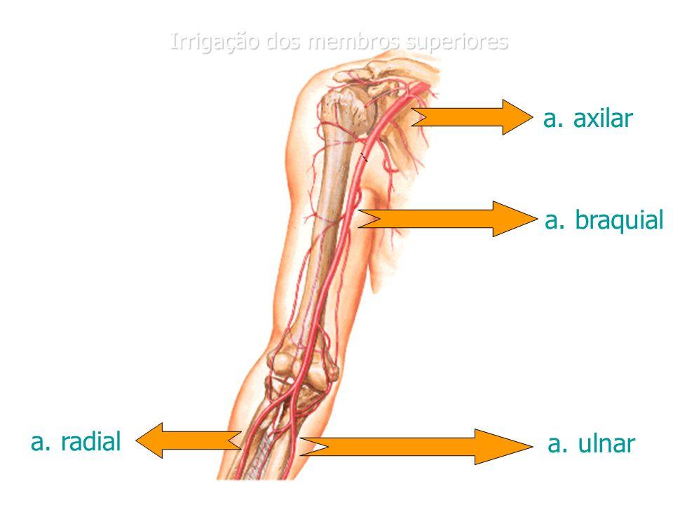 Único Anatomía Arteria Axilar Componente - Anatomía de Las ...