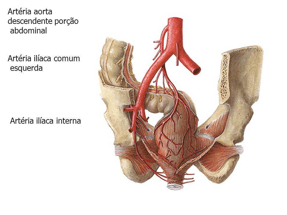 Artéria ilíaca interna Artéria ilíaca externa Artéria aorta descendente porção abdominal Artéria ilíaca comum esquerda