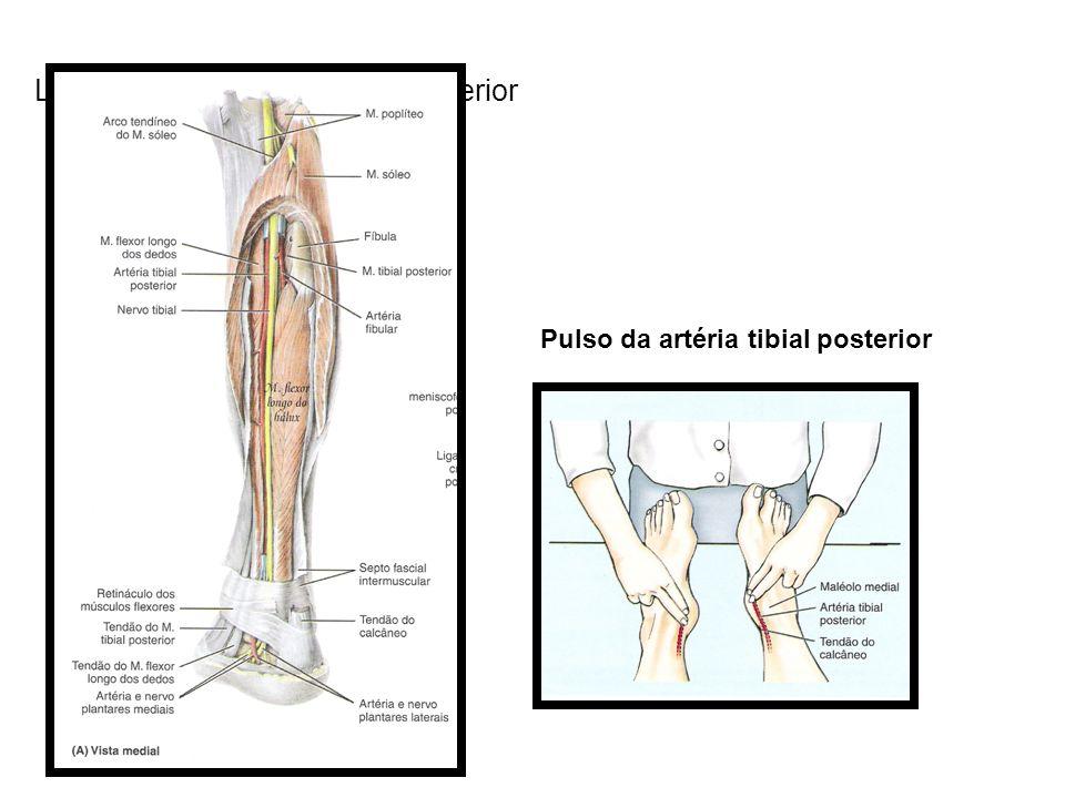 Localização da artéria tibial posterior Pulso da artéria tibial posterior