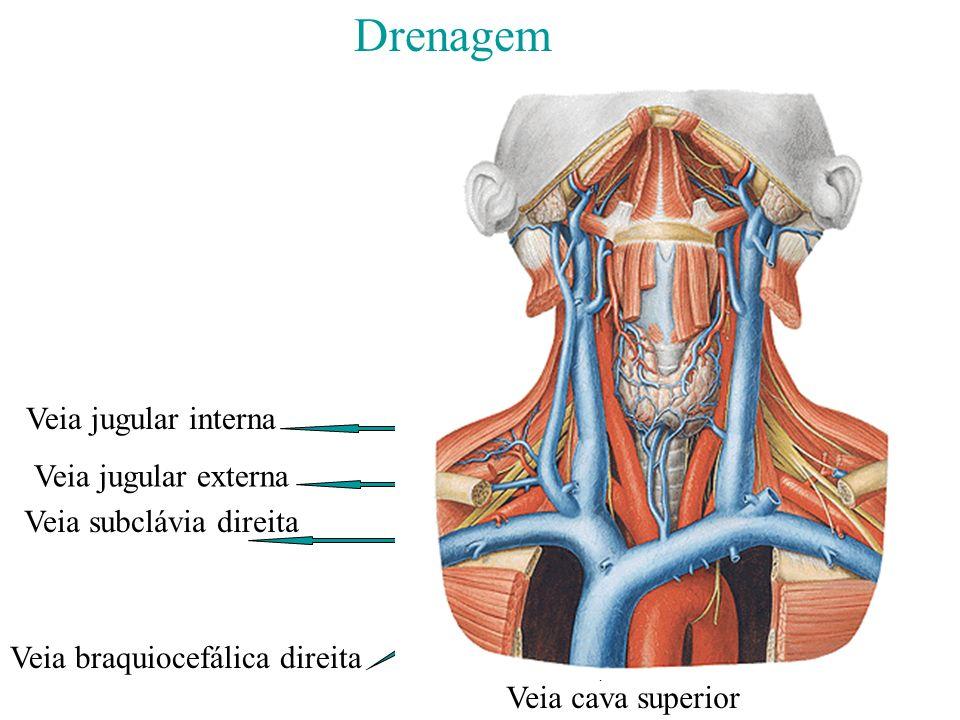 Drenagem Veia jugular externa Veia jugular interna Veia subclávia direita Veia braquiocefálica direita Veia cava superior