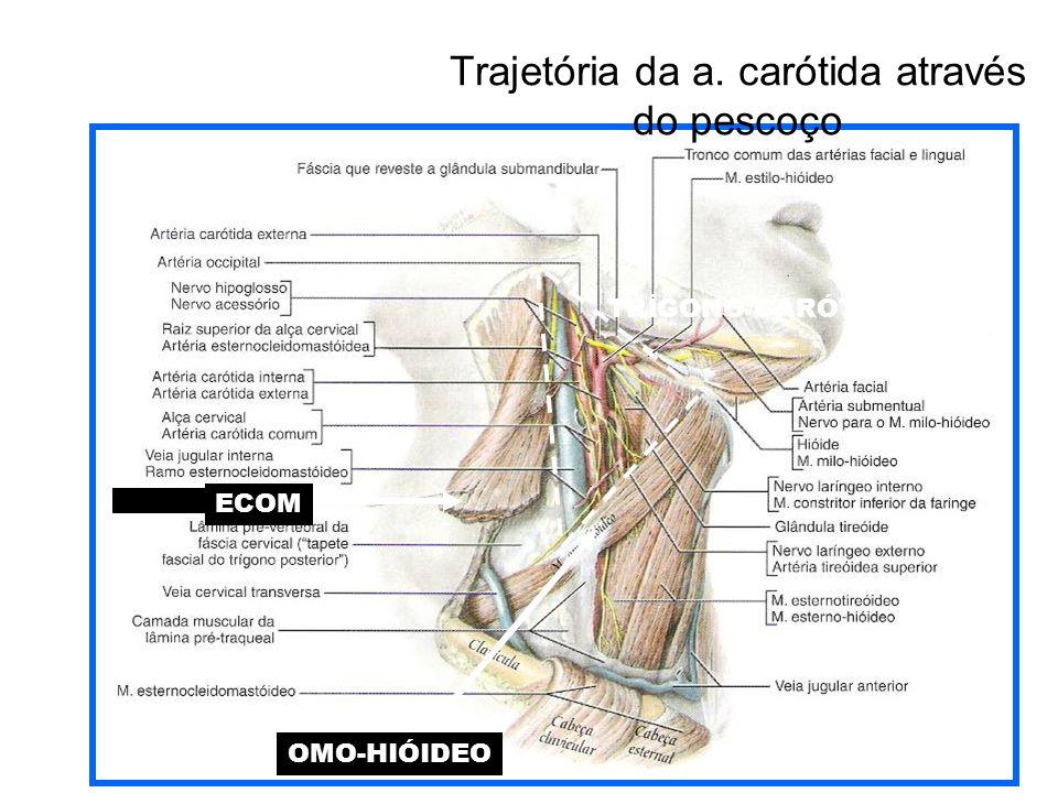 ECOM OMO-HIÓIDEO TRÍGONO CARÓTICO Trajetória da a. carótida através do pescoço