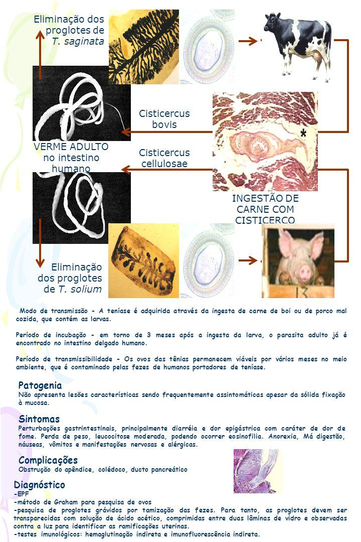 VERME ADULTO no intestino humano Eliminação dos proglotes de T. solium Eliminação dos proglotes de T. saginata INGESTÃO DE CARNE COM CISTICERCO Cistic