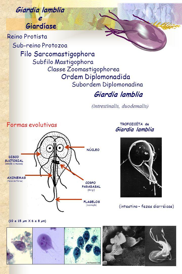 CISTO de Giardia lamblia núcleo (8 a 15 µm) (cólon – fezes formadas) Ocorrência - as giardíases possuem distribuição mundial.