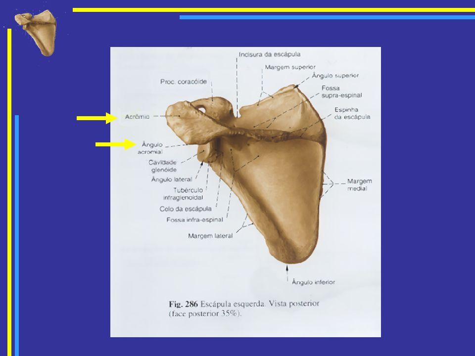 Apófise coracóide Projecta-se anteriormente do bordo superior da cavidade glenóide.Projecta-se anteriormente do bordo superior da cavidade glenóide.