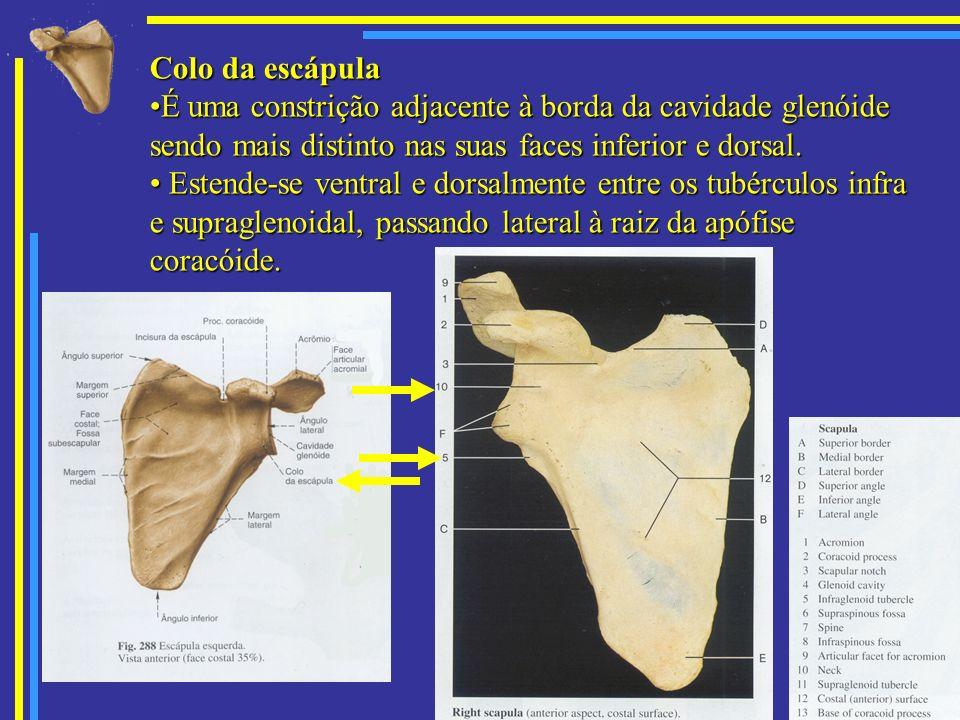 Colo da escápula É uma constrição adjacente à borda da cavidade glenóide sendo mais distinto nas suas faces inferior e dorsal.É uma constrição adjacen