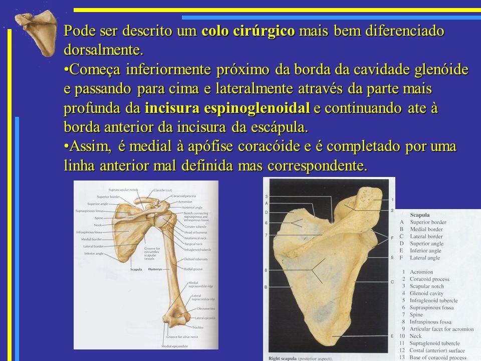 Pode ser descrito um colo cirúrgico mais bem diferenciado dorsalmente. Começa inferiormente próximo da borda da cavidade glenóide e passando para cima