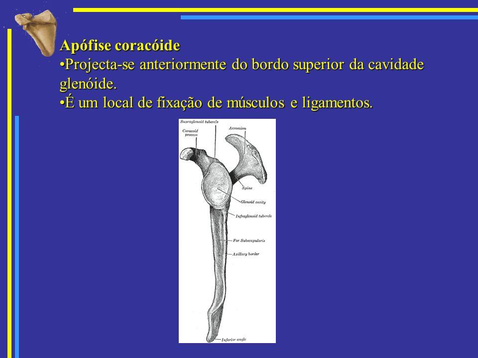 Apófise coracóide Projecta-se anteriormente do bordo superior da cavidade glenóide.Projecta-se anteriormente do bordo superior da cavidade glenóide. É