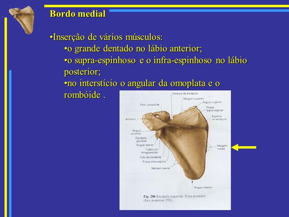Bordo medial Inserção de vários músculos:Inserção de vários músculos: o grande dentado no lábio anterior;o grande dentado no lábio anterior; o supra-e