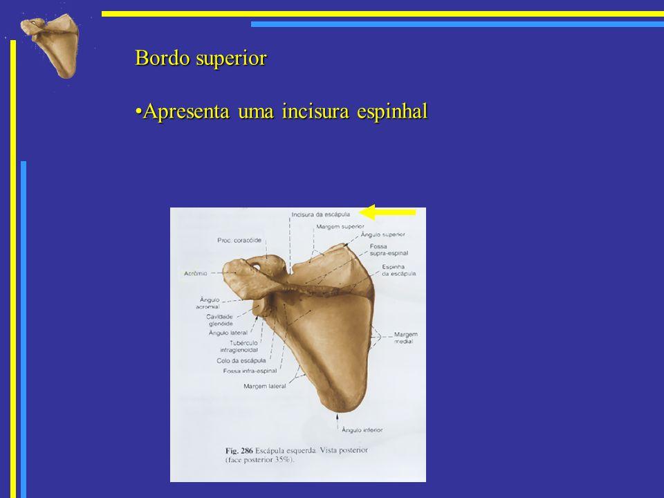 Bordo lateral Apresenta o tuberculo infraglenoidal onde está inserida a cabeça longa do músculo tríceps do braço.