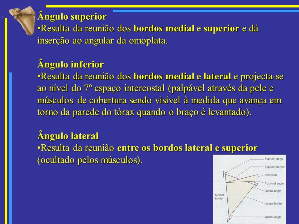 Ângulo superior Resulta da reunião dos bordos medial e superior e dá inserção ao angular da omoplata.Resulta da reunião dos bordos medial e superior e
