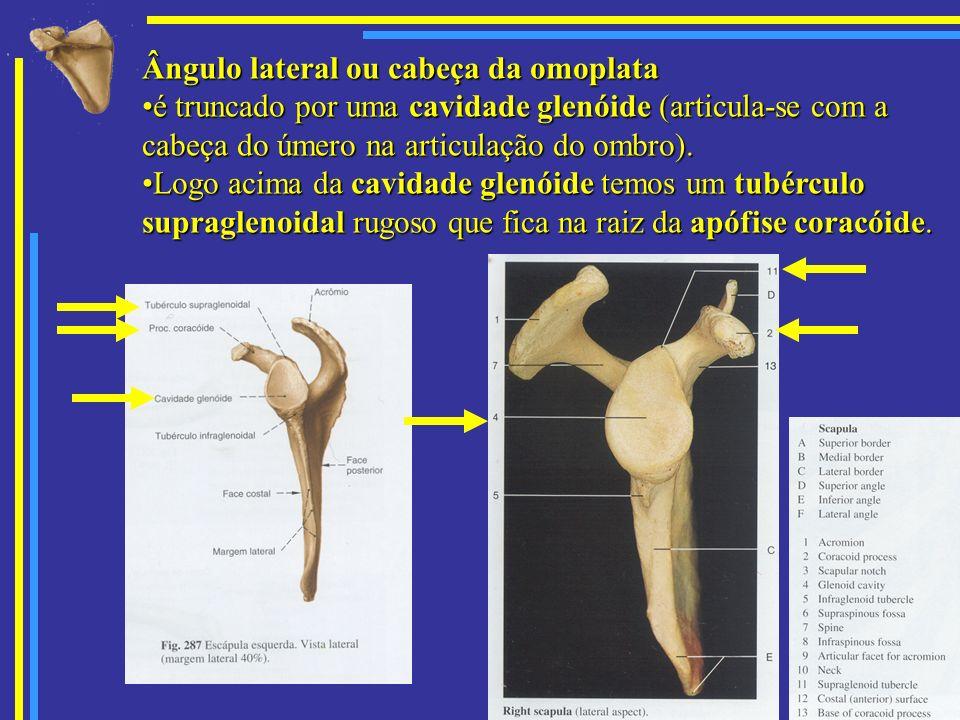 Ângulo lateral ou cabeça da omoplata é truncado por uma cavidade glenóide (articula-se com a cabeça do úmero na articulação do ombro).é truncado por u