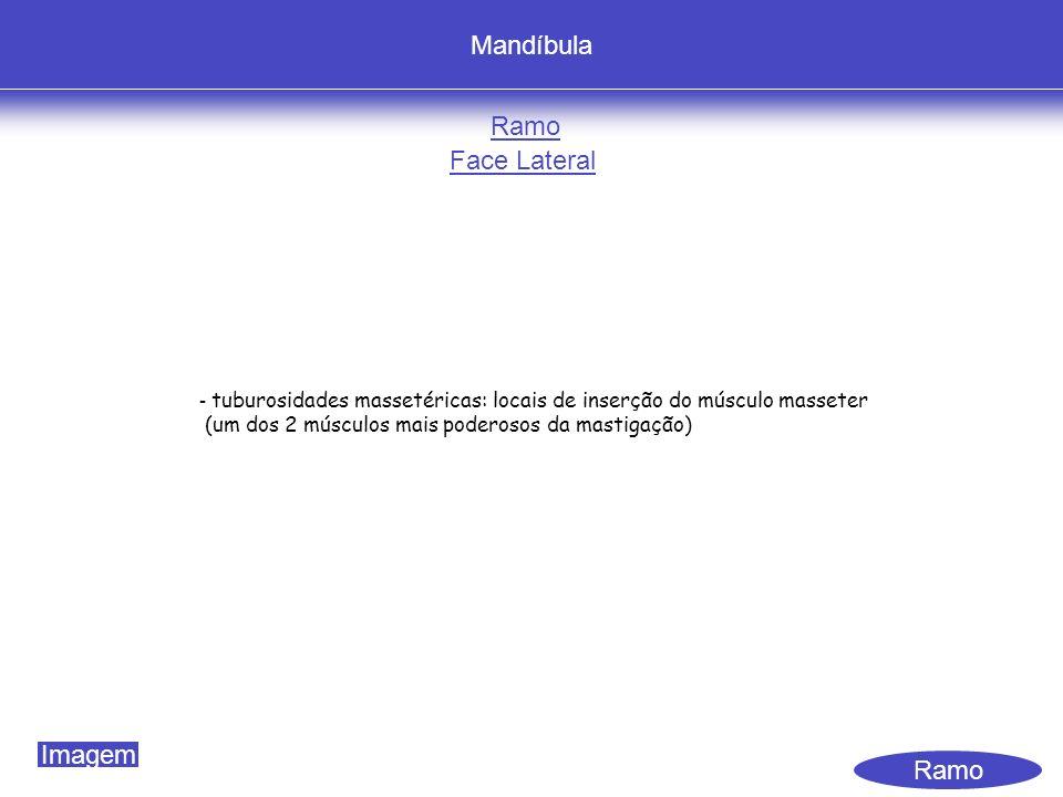 Mandíbula Ramo Face Lateral Ramo - tuburosidades massetéricas: locais de inserção do músculo masseter (um dos 2 músculos mais poderosos da mastigação) Imagem