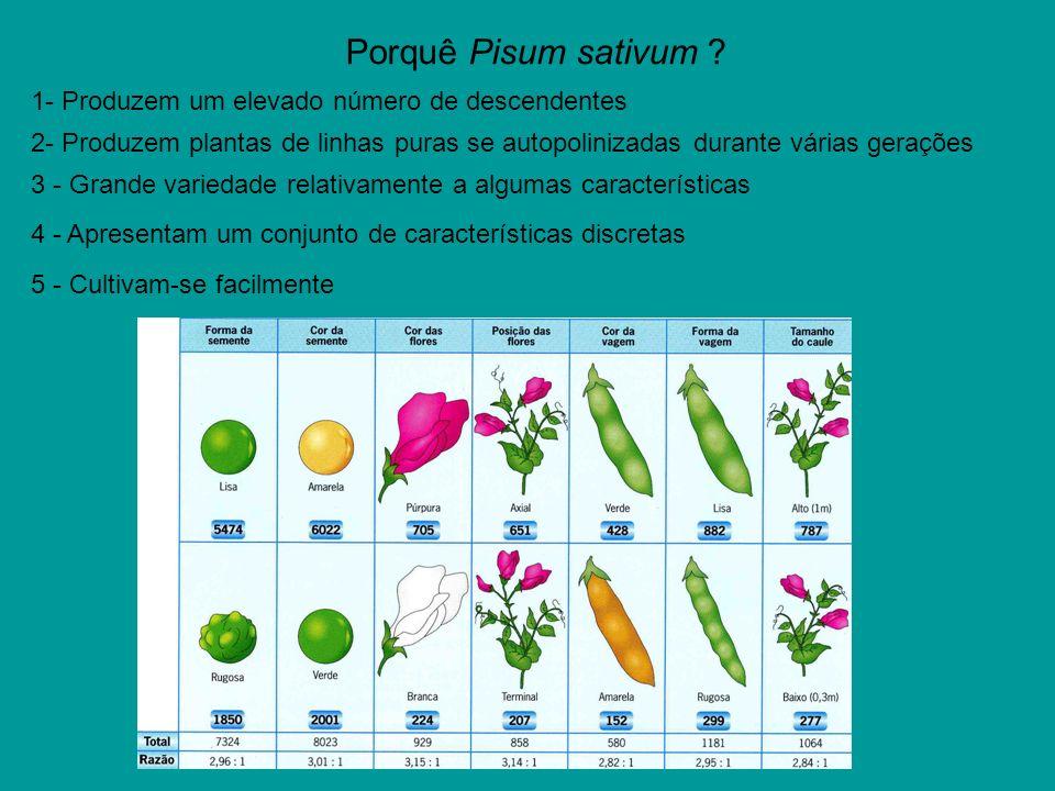 Porquê Pisum sativum ? 4 - Apresentam um conjunto de características discretas 5 - Cultivam-se facilmente 3 - Grande variedade relativamente a algumas