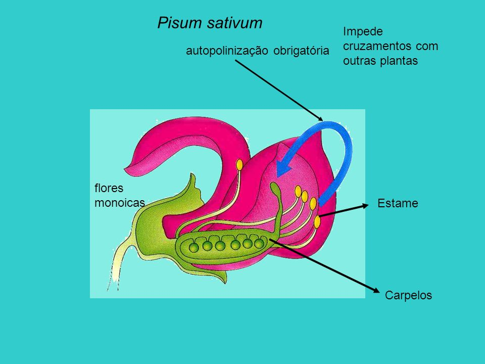 Pisum sativum Polinização cruzada apenas de forma intencional Remoção das anteras de uma flor Recolha do pólen das anteras de outra Transferência do pólen para o estigma da flor inicial já sem anteras