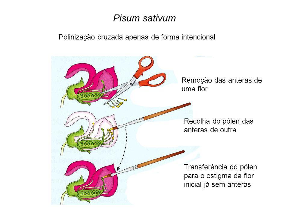 Pisum sativum Polinização cruzada apenas de forma intencional Remoção das anteras de uma flor Recolha do pólen das anteras de outra Transferência do p