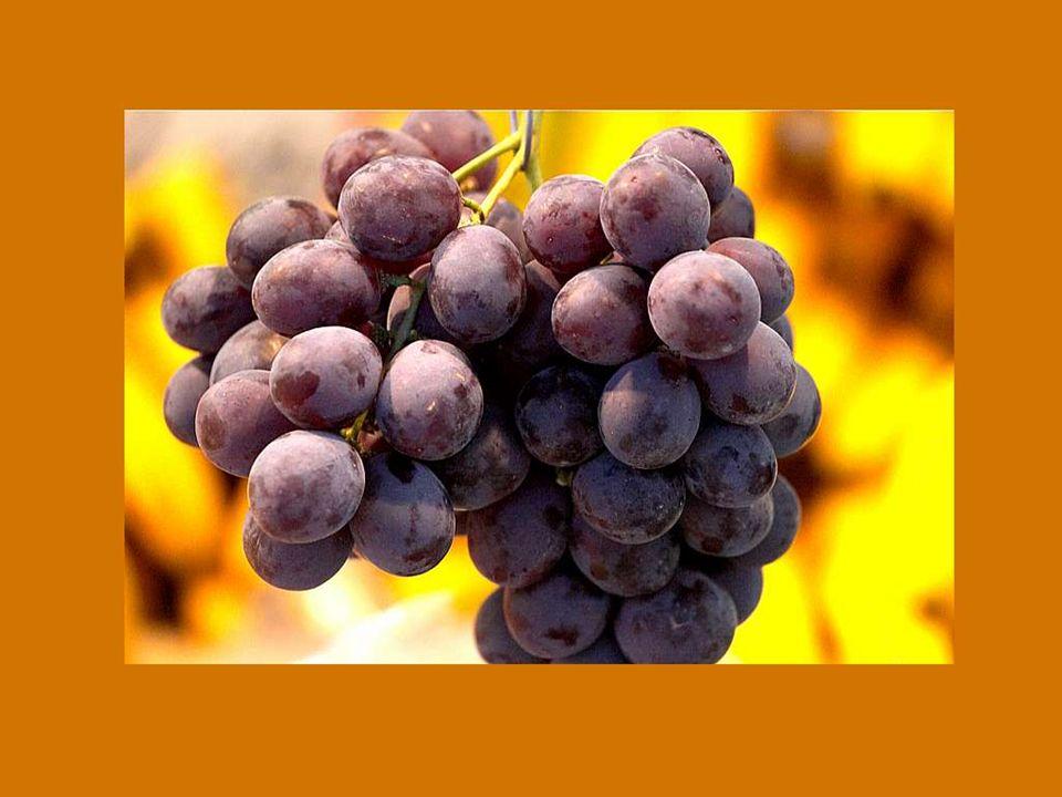 Deus não quis que o nobre vinho se perca; É por isso que não só nos dá a vinha, mas também a devida sede. Winzerspruch de Dorlisheim