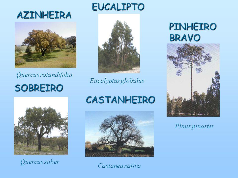 AZINHEIRA Quercus rotundifolia SOBREIRO Quercus suberEUCALIPTO Eucalyptus globulusCASTANHEIRO Castanea sativa Pinus pinaster PINHEIRO BRAVO