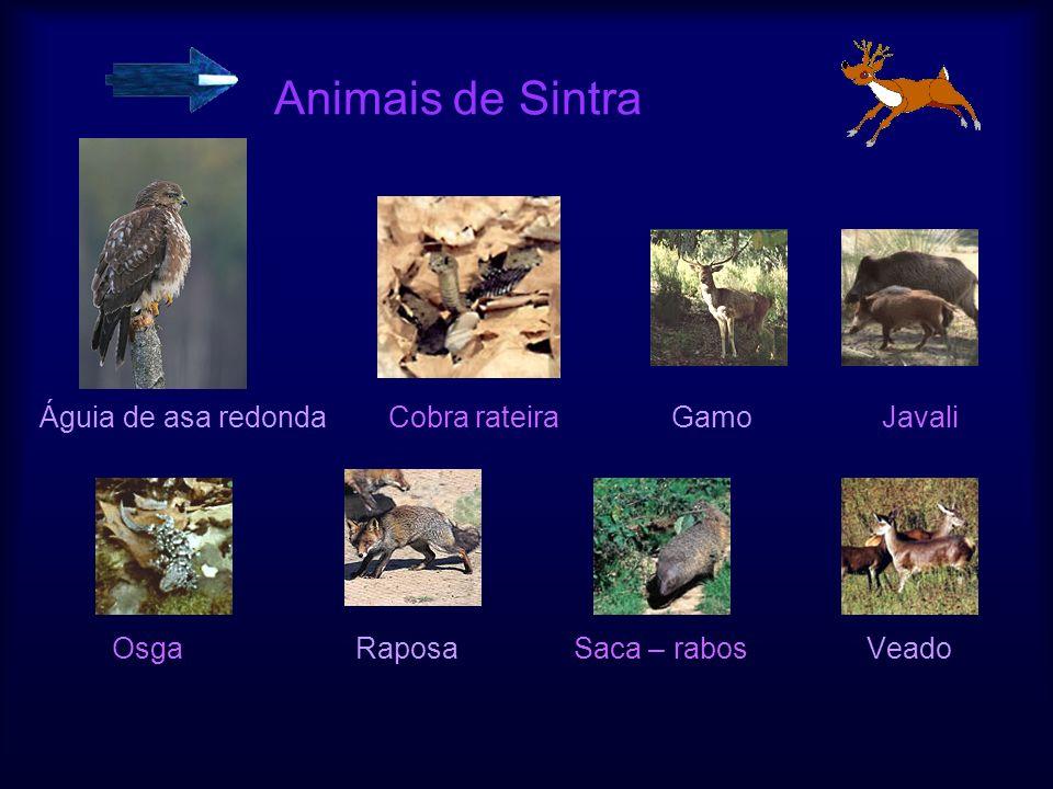 Animais de Sintra Águia de asa redonda Cobra rateiraGamoJavali OsgaRaposa Saca – rabos Veado